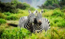 Startup Zebra: Por que devemos focar menos nos Unicórnios?