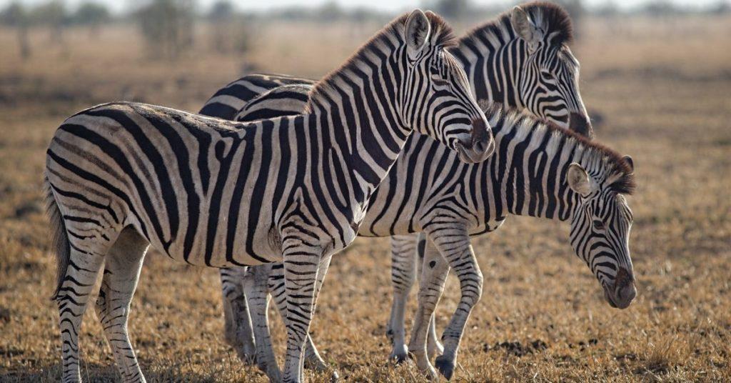 Startup Zebra Por que devemos focar menos nos Unicórnios O movimento zebra